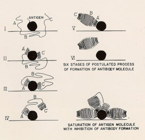 "Hand-drawn figures used in ""A Theory of the Structure and Process of Formation of Antibodies."" July 27, 1940."