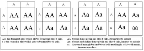 Sickle-Cell Anemia Punnett Square