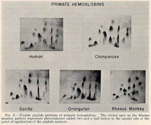 "Figures from: ""A comparison of animal hemoglobins by tryptic peptide pattern analysis."" October 1960. Proc. Natl. Acad. Sci. 46 (October 1960): 1349-1360."