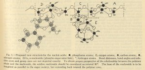 Diagram of the Ronwin structure for the nucleic acids. November 1951.