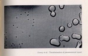 Transformation of pneumococcal types, from Avery's 1944 paper.