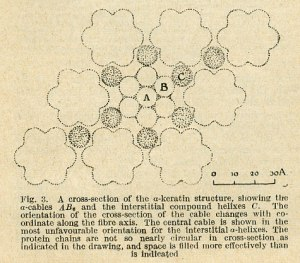 Coiled-coil illustration from Pauling and Corey's Nature publication of January 10, 1953.